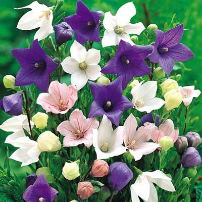 Different-Varieties-of-Balloon-Flower