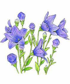Illustration-of-Balloon-Flower-plant