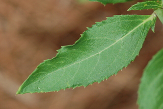 Leaf-of-Balloon-Flower-plant