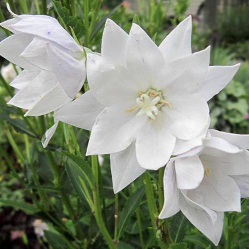 White-Balloon-Flower