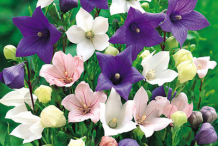 Different-Varieties-of-Balloon-Flower