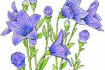 Illustration-of-Balloon-Flower-plant