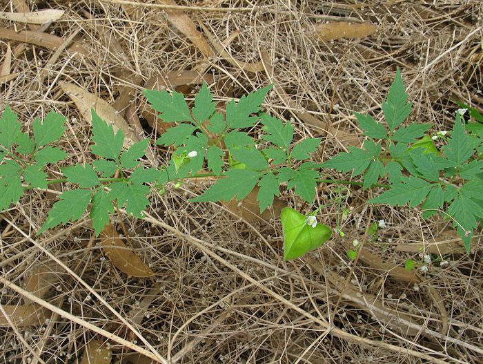 Balloon-Vine-Plant-growing-wild