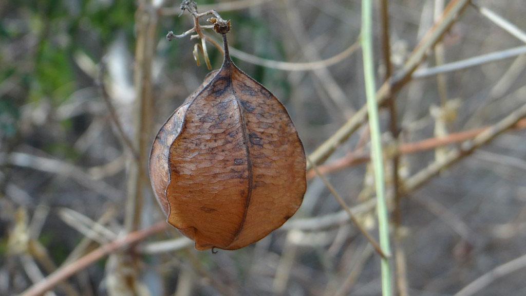 Mature-fruits-of-Balloon-Vine
