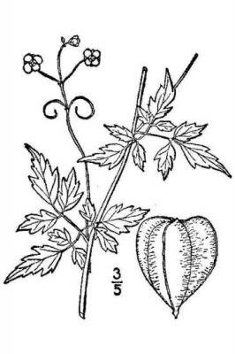 Sketch-of-Balloon-Vine