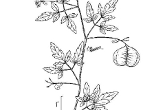 Plant-Illustration-of-Balloon-Vine