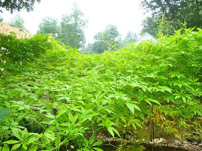 Balsam-apple-Plant-growing-wild