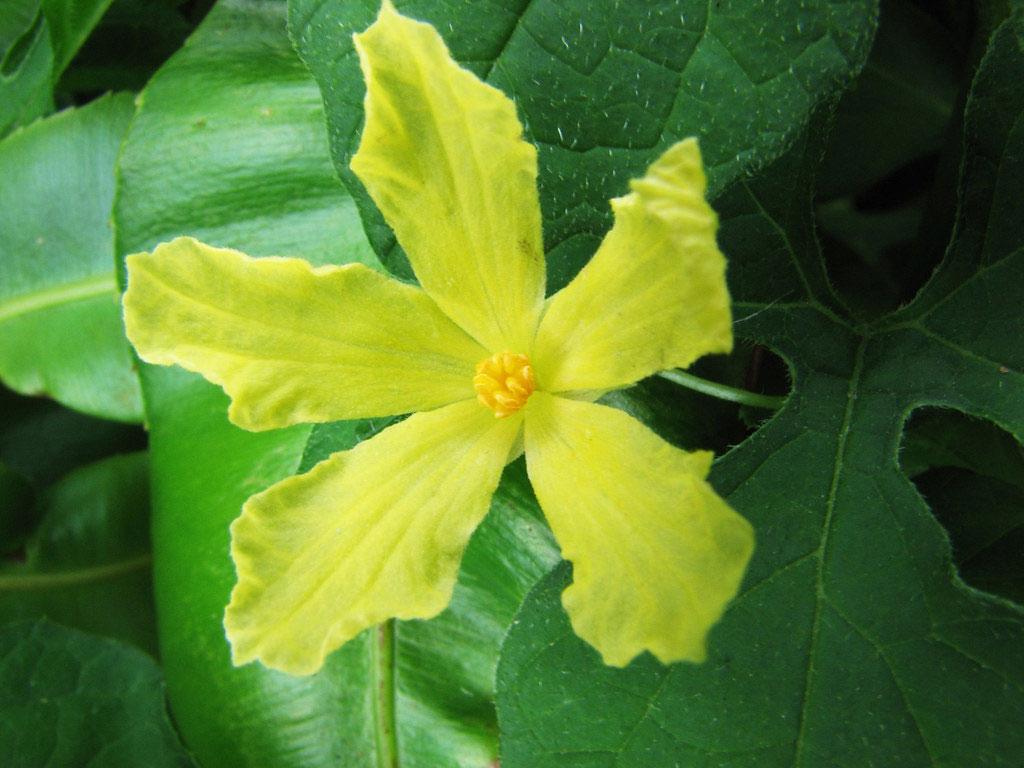Flower-of-balsam-apple