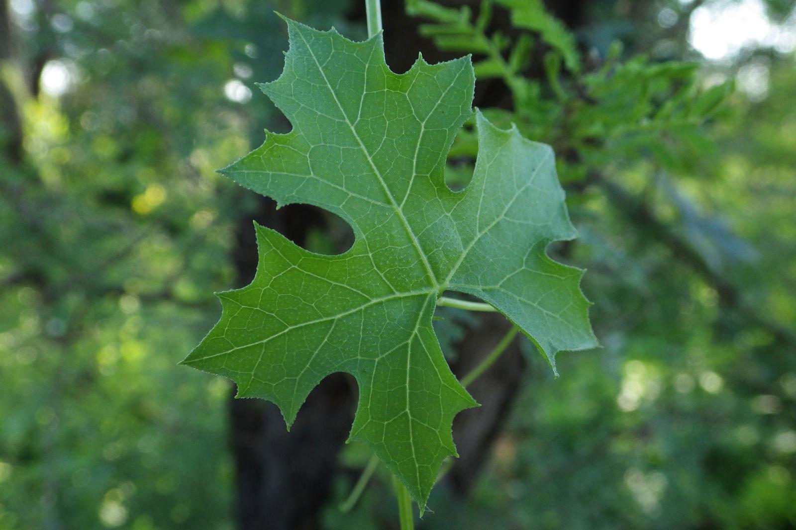 Leaves-of-Balsam-apple