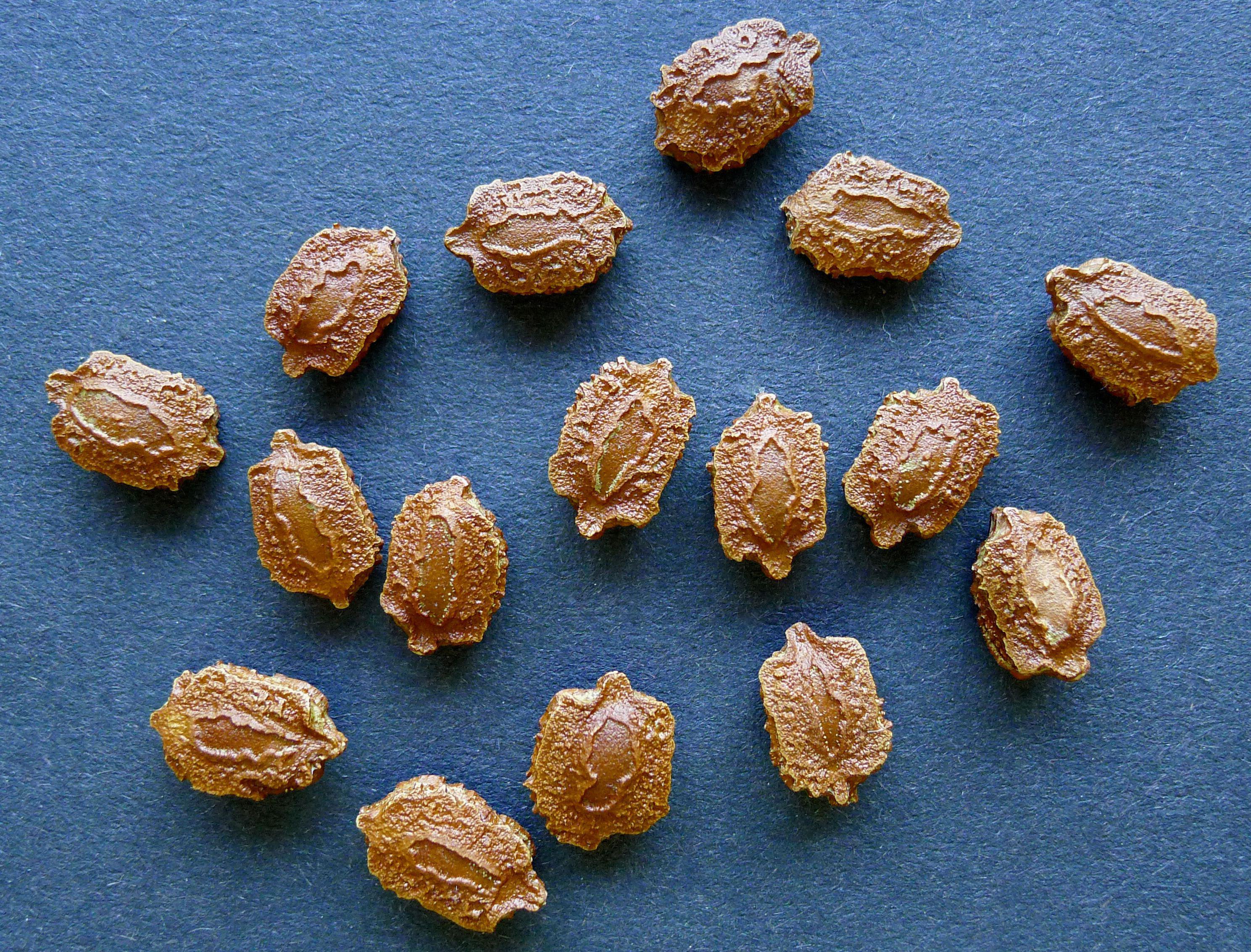 Seeds-of-Balsam-apple