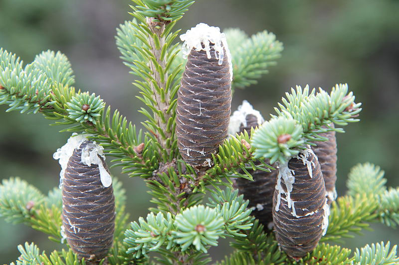 Balsam-Fir-Seed-cones-with-resin-oozing-out