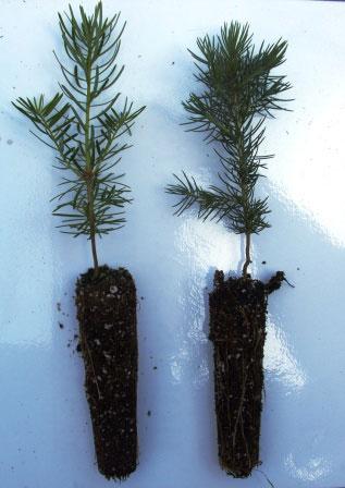 Balsam-fir-sapling