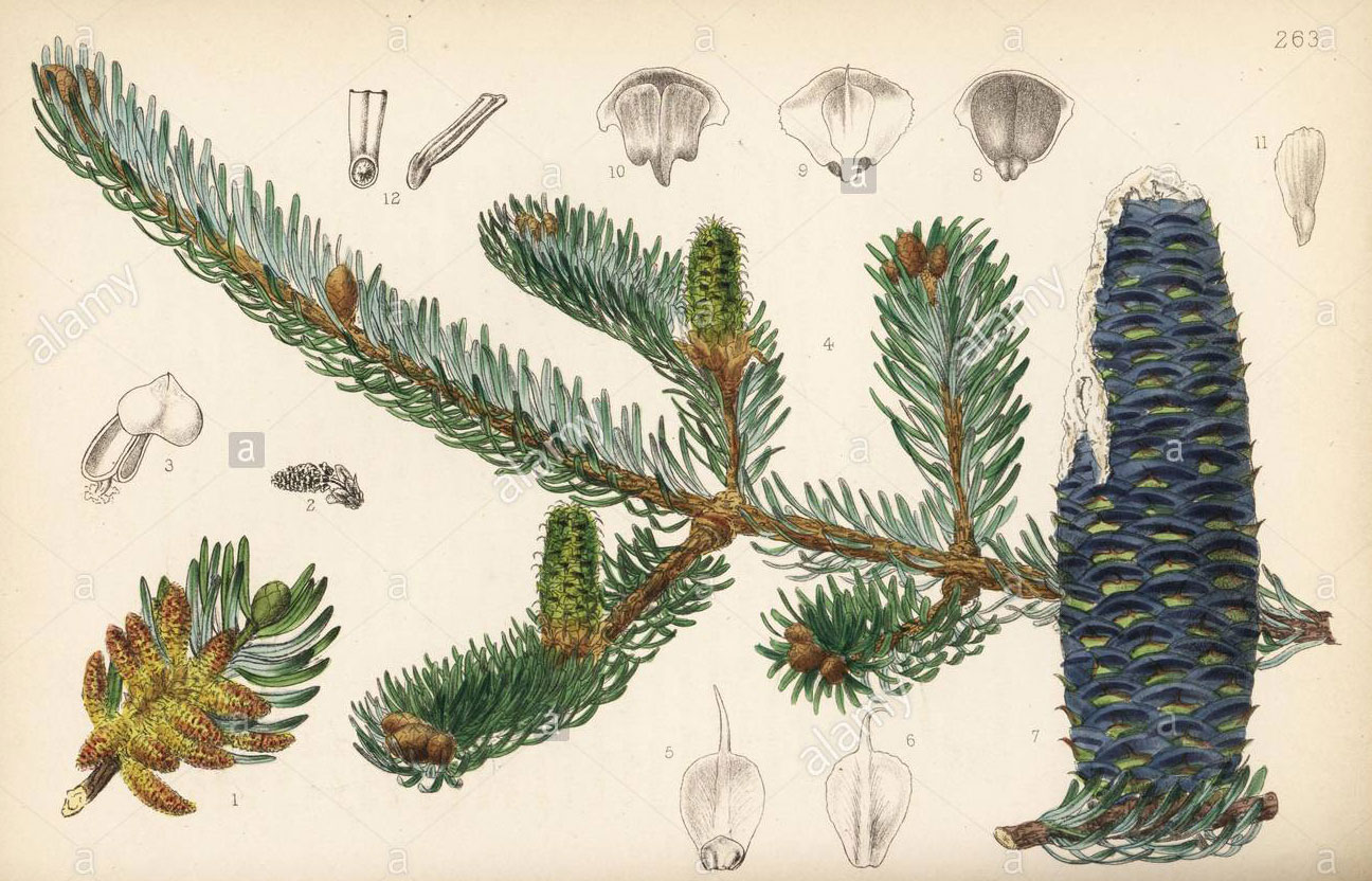 Plant-illustration-of-Balsam-Fir