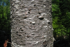Balsam-Fir-bark