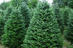 Balsam-fir-Tree