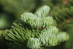 Close-up-of-thickly-leaved-branchlets-of-Balsam-Fir