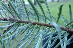 Closer-view-of-leaves-of-Balsam-Fir