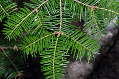 Leaves-of-Balsam-Fir