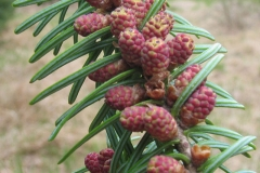 Pollen-cones-of-Balsam-Fir