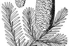 Sketch-of-Balsam-Fir