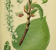 Plant-illustration-of-Balsam-poplar