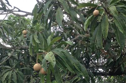Leaves-of-Bambangan