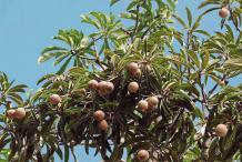 Bambangan-fruit-on-the-tree