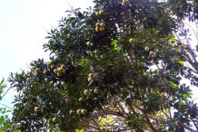 Bambangan-tree