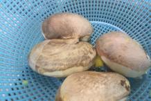 Seeds-of-Bambangan