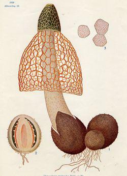 Plant-illustration-of-Bamboo-mushrooms