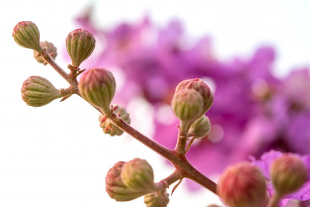 Flowering-buds-of-Banaba