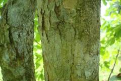 Banaba-bark