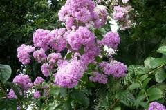 Flower-of-Banaba