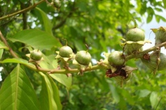 Immature-fruits-of-Banaba