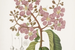 Plant-Illustration-of-Banaba