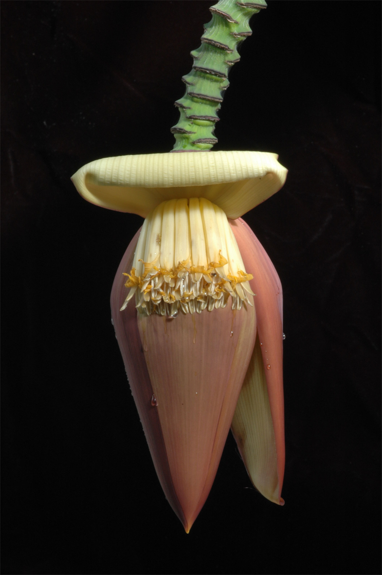 Banana-Flower-6