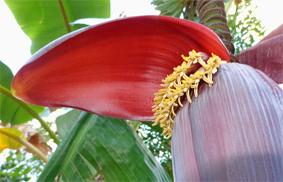 Banana-Flower-7