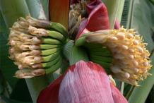 Banana-Flower-3