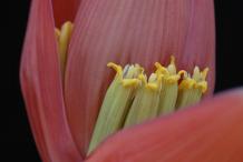 Banana-Flower-5