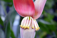 Banana-Flower-8