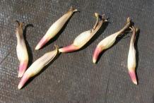 Individual-banana-flower