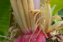 Banana-Flower-1