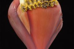 Banana-Flower-4