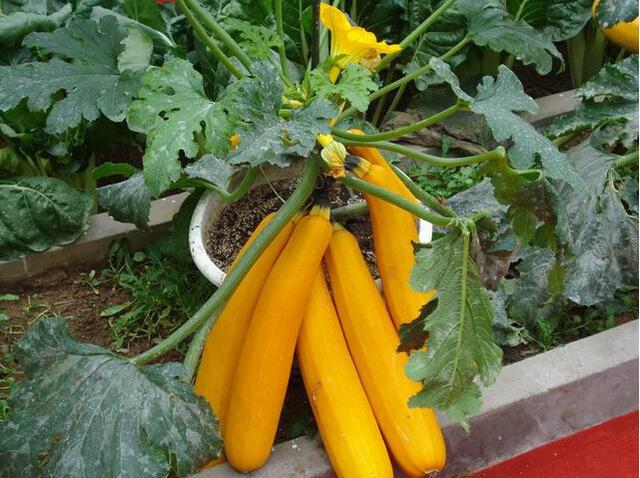 Banana-Melon-Plant