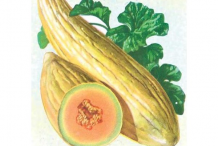 Sketch-of-Banana-Melon