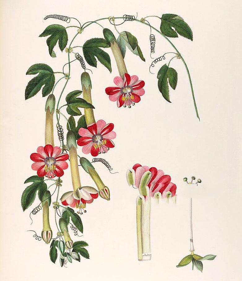 Plant-Illustration-of-Banana-Passionfruit