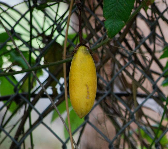 Ripe-fruit-of-Banana-Passionfruit