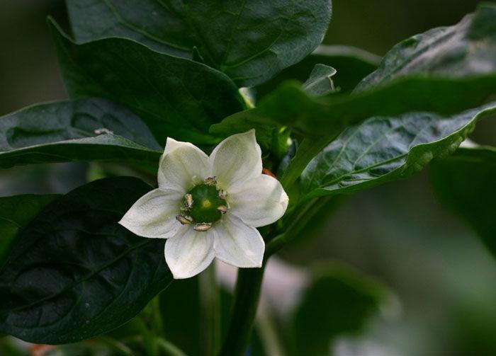 Close-up-flower-of-Banana-pepper
