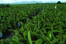 Banana-farm