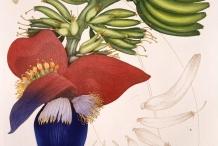 Illustration-of-Banana